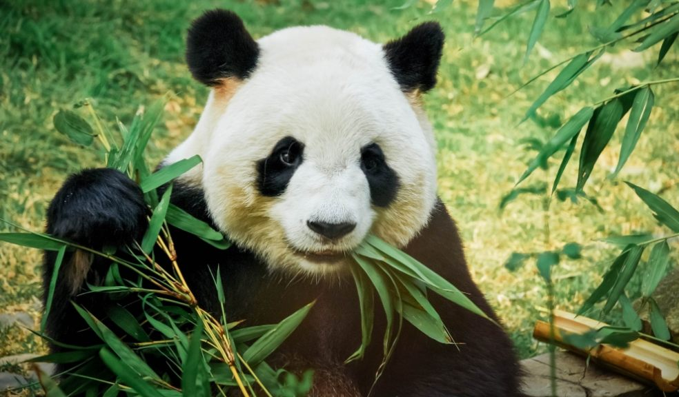 Cute panda eating bamboo on Zoocam