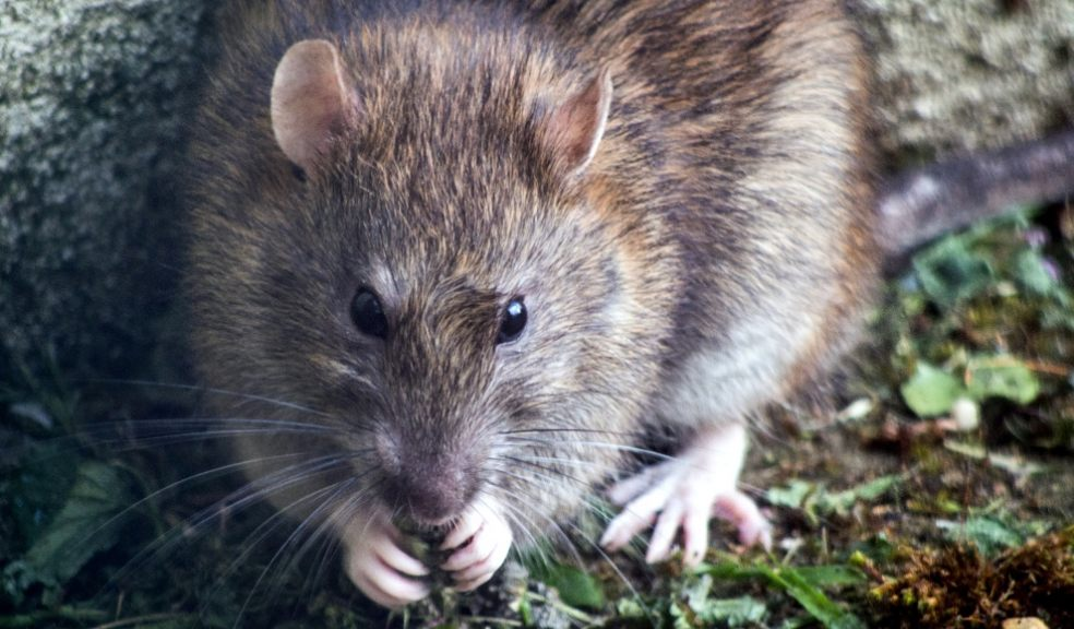 Rats have enjoyed a bumper year breeding like crazy during lockdown