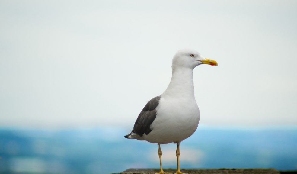 Refuse collectors across the UK are reporting being dive-bombed by starving gulls