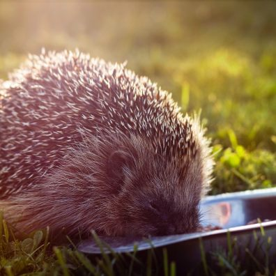 Hedgehogs were recently listed as 'vulnerable to extinction'