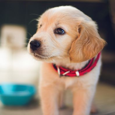 Study by RVC into puppy buying experiences