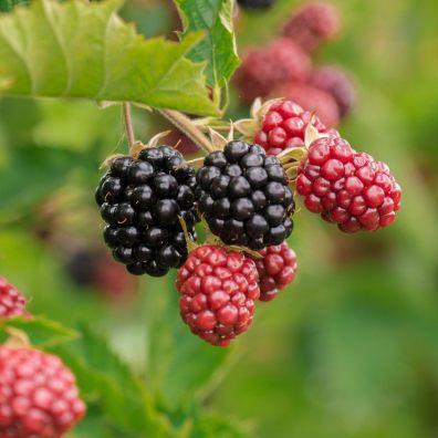 blackberries, fruit, bush